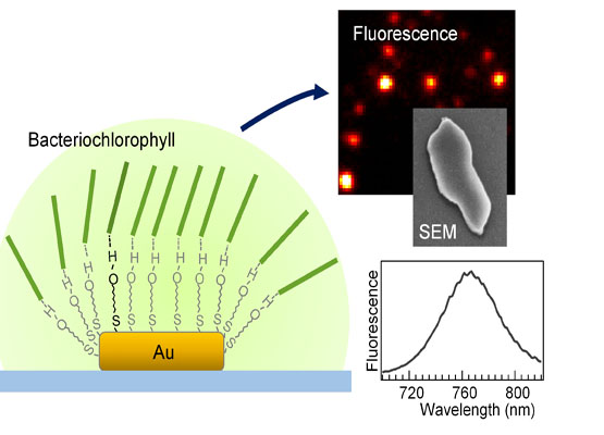 Bacteriochlorophyll Aggregates Self Assembled On