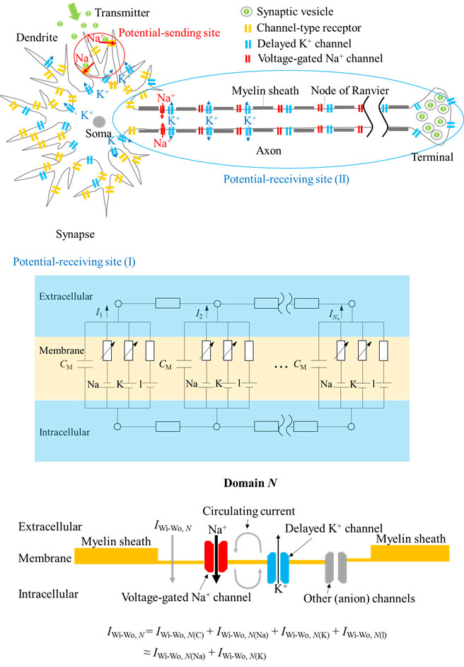 directional propagation of action potential using a mimicking system ((Advances-in-Engineering))