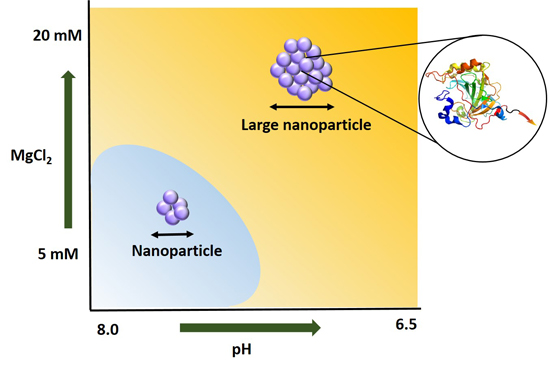 Peptide-driven protein nanoparticle formation modulated through pH and metal ions - Advances in Engineering