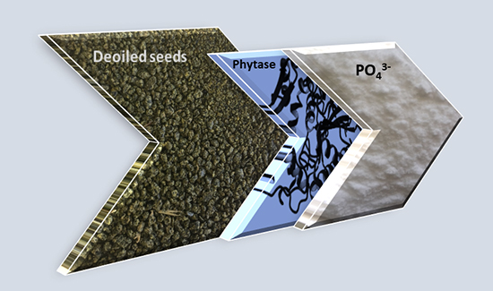 Enzymatic phosphorus recovery from de-oiled seeds - Advances in Engineering