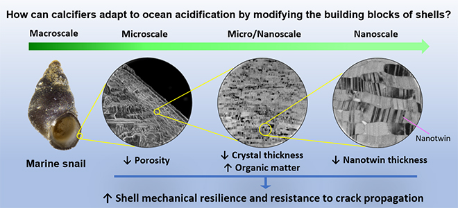 Marine Life Can Resist Ocean Acidification by Modifying Shell-Building Process at the Nanoscale - Advances in Engineering