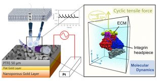 Heterogeneous role of integrins in fibroblast response to small cyclic mechanical stimulus generated by a nanoporous gold actuator - Advances in Engineering